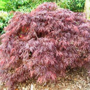 Acer palmatum dissectum Crimson Queen - pb18 (80/110)