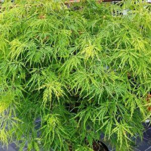 Acer palmatum dissectum Viridis - pb28 (110/140)