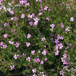 Acmadenia Star Blush 500