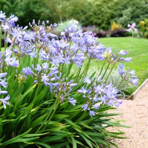 Agapanthus Baby Blue 500