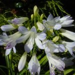 Agapanthus Silver Baby 500