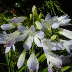 Agapanthus Silver Baby - 2ltr (20/30)