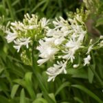 Agapanthus Snow Baby 500