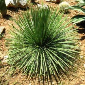 Agave geminiflora - pb6.5 (20/30)