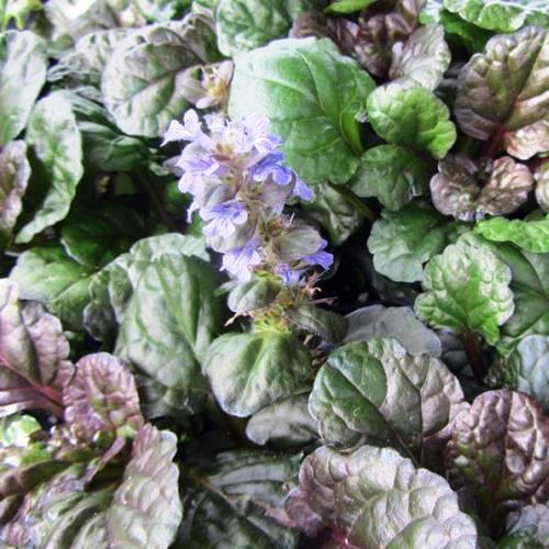 Ajuga Black Scallop 500