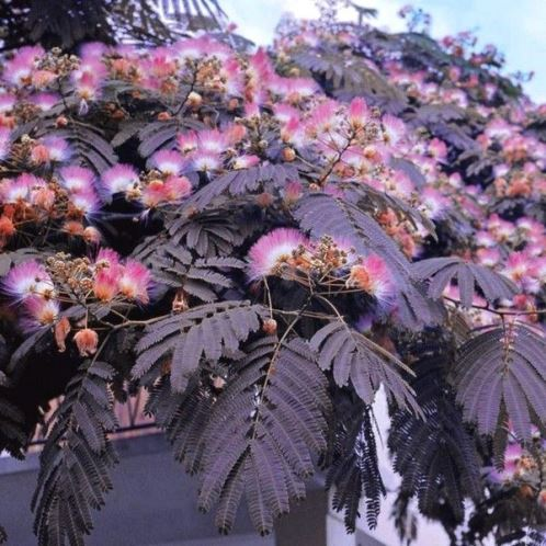 Albizia Summer Chocolate 500