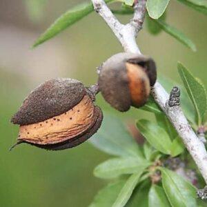 Almond Monovale - pb18 (190/230)