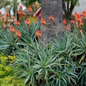 Aloe arborescens - 2ltr (40/50)