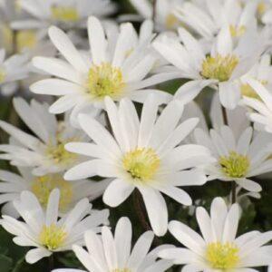 Anemone Blanda - White Splendour