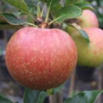 Apple Kidds Orange Red