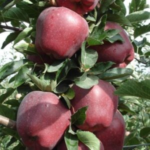Apple Red Delicious - pb12 (100/170)