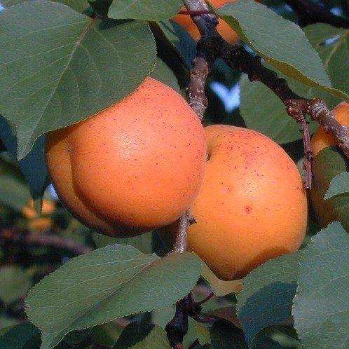 Apricot Goldrich 500