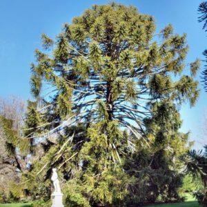 Araucaria bidwillii - 2.5ltr