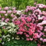 Rhododendron assorted - pb6.5
