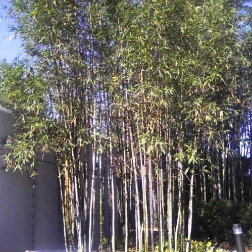 Bambusa Oldhamii 500