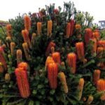 Banksia ericafolia - pb5 /pb6.5 (30/40)