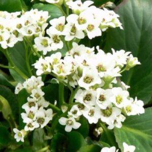 Bergenia Bressingham White - 2.5ltr (10/20)