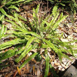 Blechnum fluviatile - pb6.5