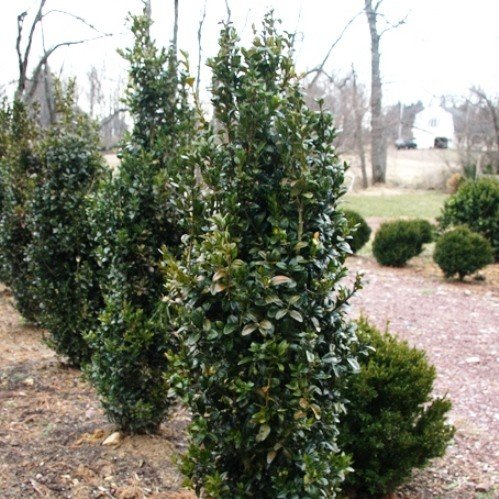 Buxus Graham Blandy 500
