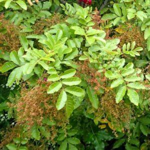 Caldcluvia rosifolia - pb6.5 (45/60)