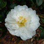 Camellia Mine No Yuki 500