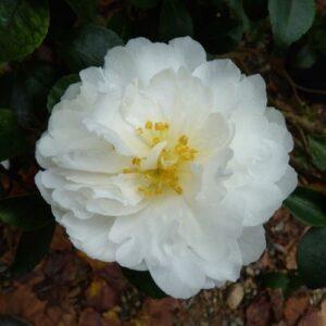 Camellia Mine-No-Yuki - pb6.5 (60/70)