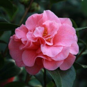 Camellia Scentsation - pb6.5 (60/80)