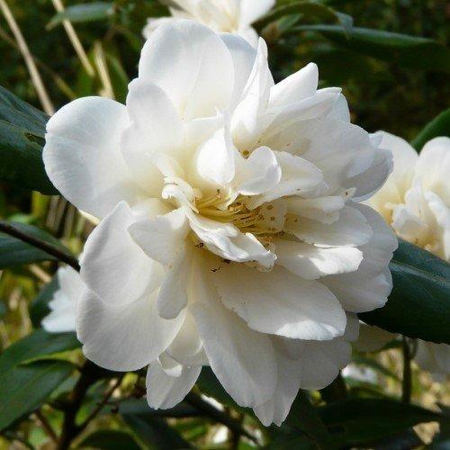 Camellia Silver Anniversary 500