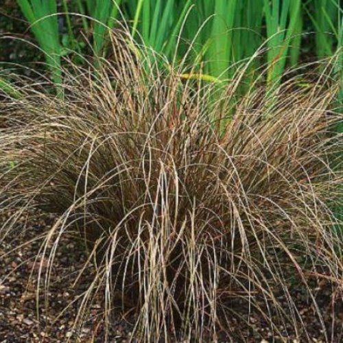 Carex Flagellifera 500