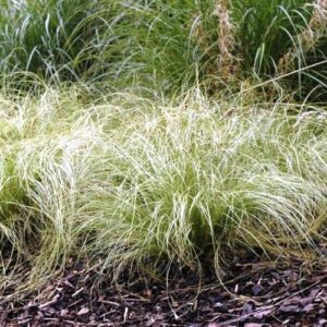 Carex Frosted Curls - pb5 (30/40)