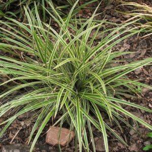 Carex Goldband - pb6.5 (10/15)
