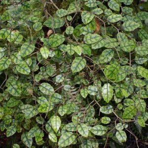 Carpodetus serratus - pb3/4 (30/40)