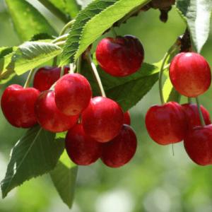 Cherry Bing - pb12 (160/180)