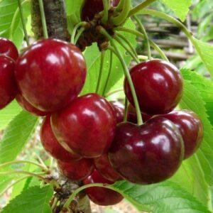 Cherry Lapins - pb95 (250/300)