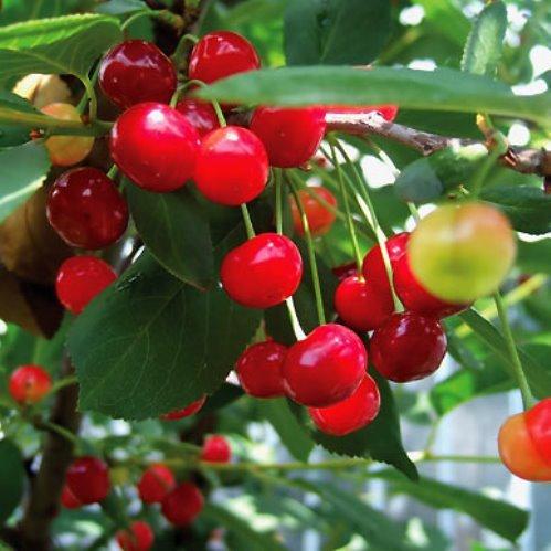 Cherry Montmorency 500