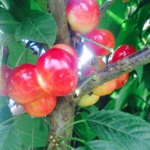 Cherry Rainier - pb12 (160/180)