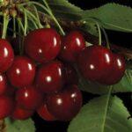 Cherry Sam 500