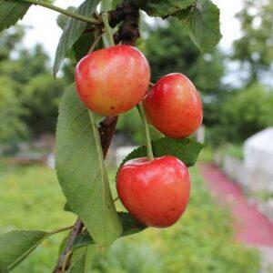 Cherry Tangshe - pb12 (100/200)