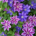 Clematis - Assorted Varieties - pb6.5 (70/120)