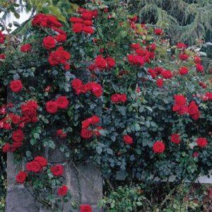 Climber / Rambler Rose - Dublin Bay