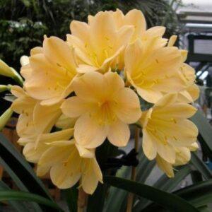 Clivia Hammett Yellow - pb6.5