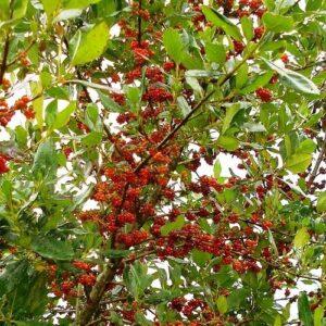 Coprosma robusta - pb3 (20/25)