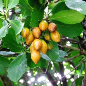 Corynocarpus laevigatus - pb28 (140/160)