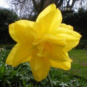 Daffodils Double - Golden Ducat