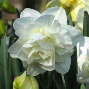 Daffodils Double - Obdam