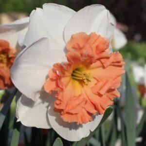 Daffodils ruffled corona - Precocious