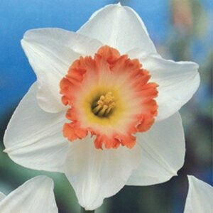 Daffodils Pink Cup - Rosy Wonder