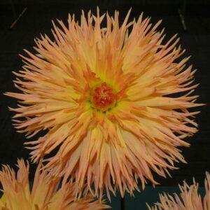 Dahlias, Cactus - Kaiwera Gold