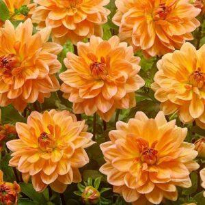 Dahlias, Decorative - Keith Hammett