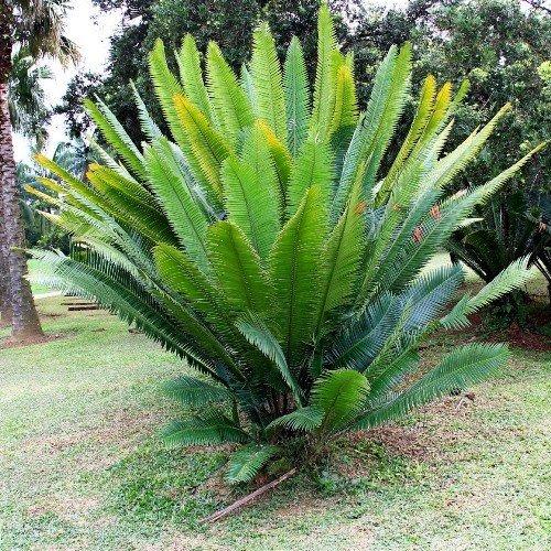 Dioon Spinolosum 500